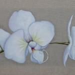 Délicates Orchidées